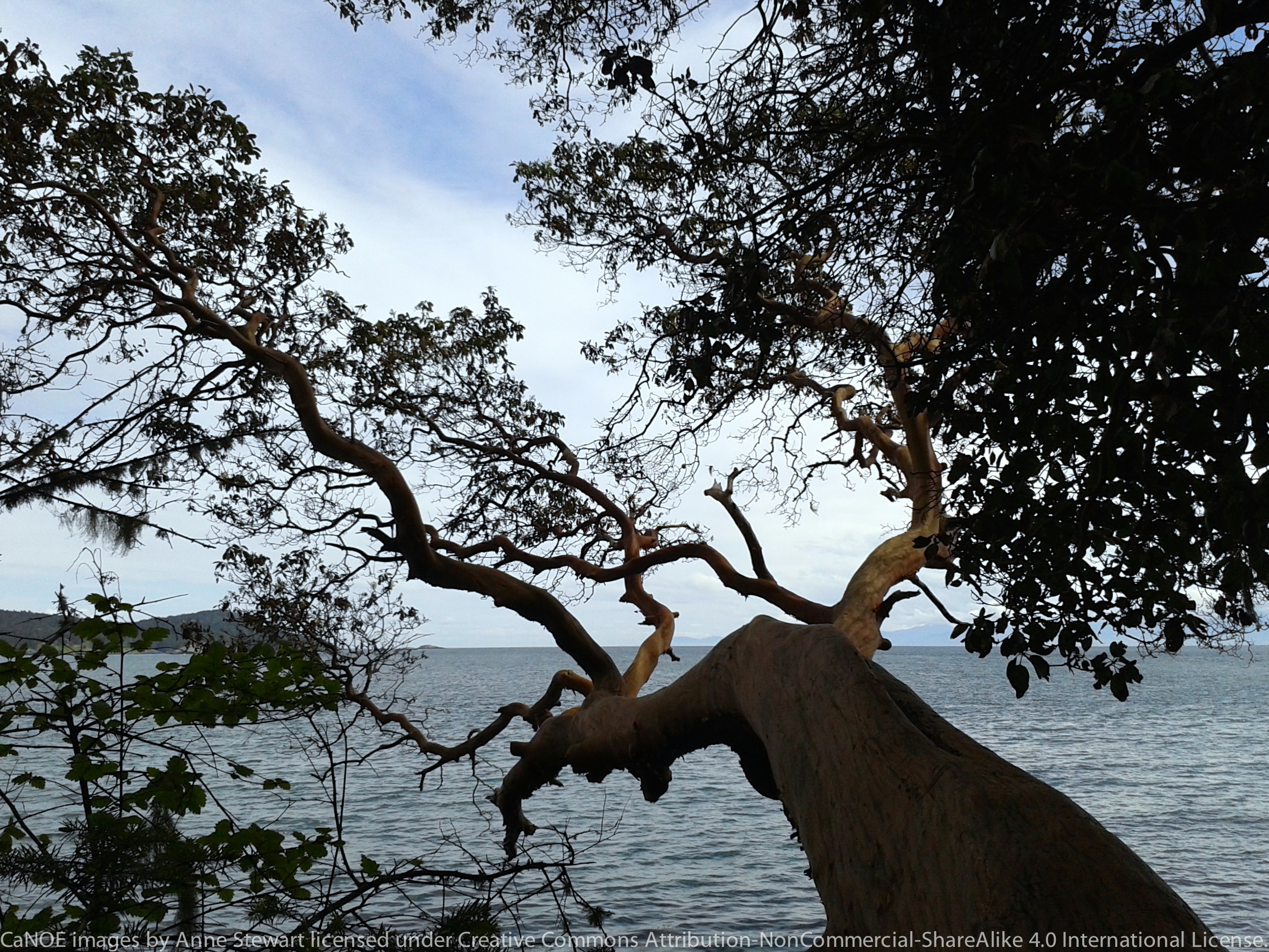 Arbutus leaning into sea.jpg