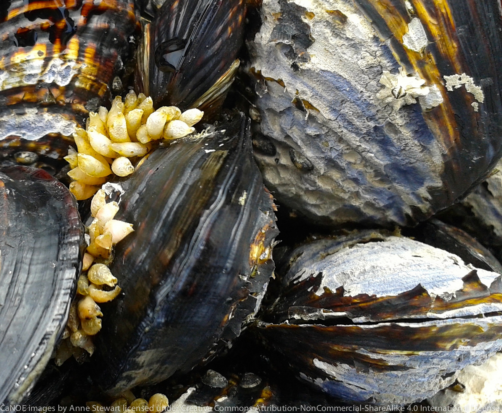 California Mussels with whelk egg capsules.jpg