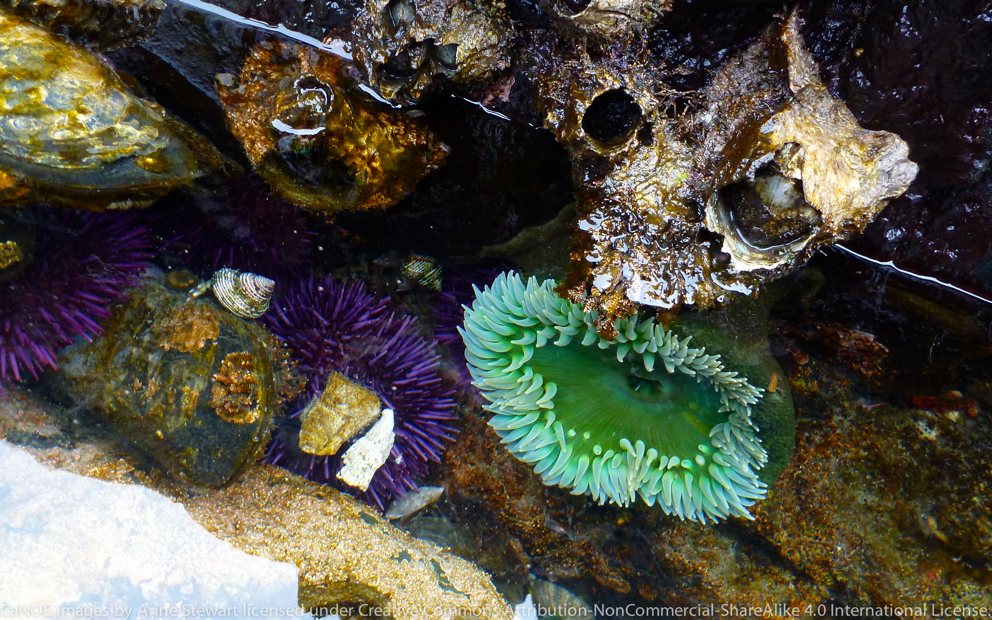 Giant green anemone in pool.JPG