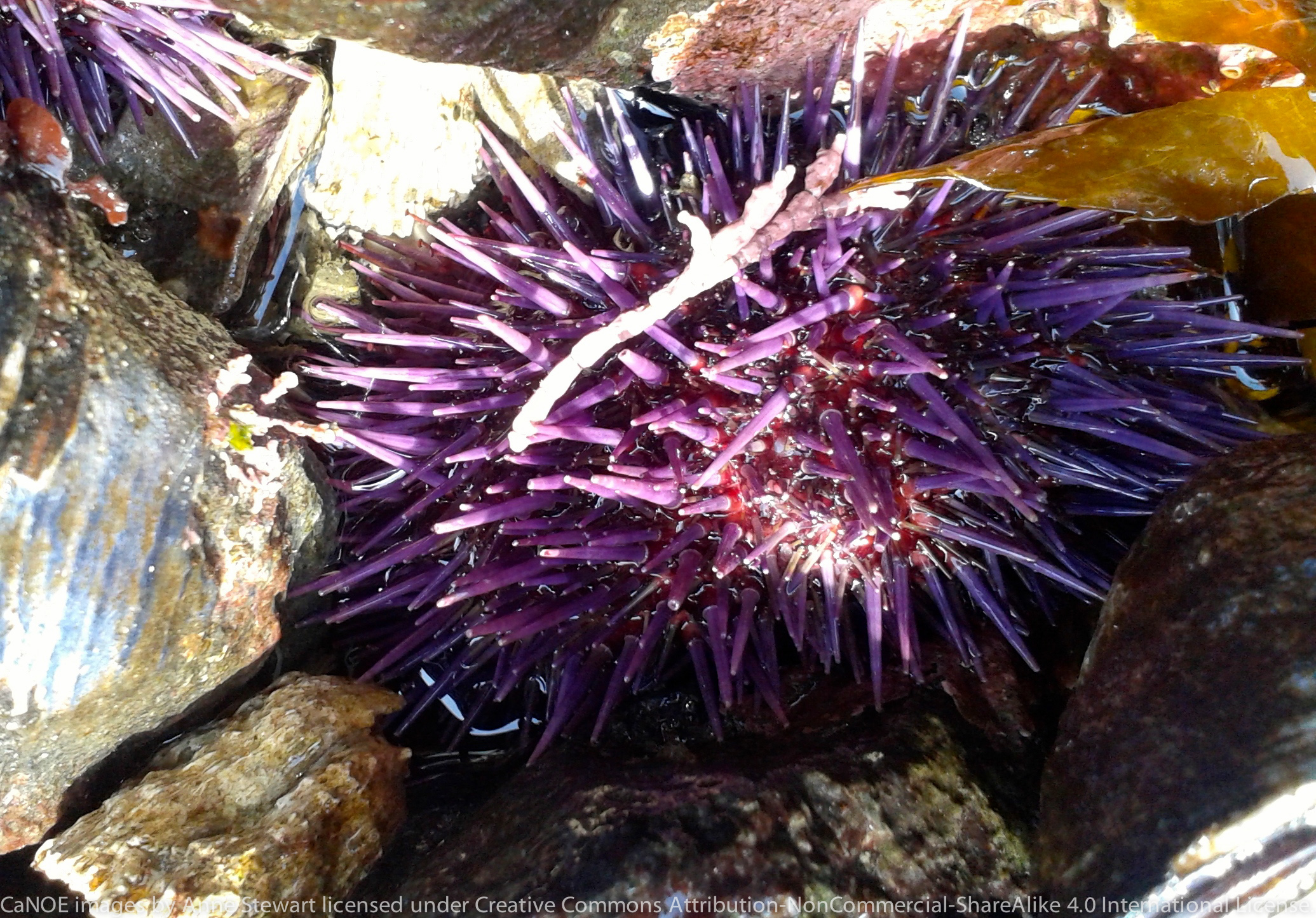 Purple urchins.jpg